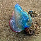 Man of War Jellyfish by Garrett Hanson