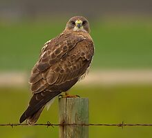 Swainson's Hawk  by JamesA1