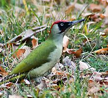 Green Woodpecker by Vasil Popov