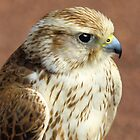 """Saker Falcon"" by peaky40"