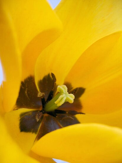 Yellow tulip by Jeanne Horak-Druiff