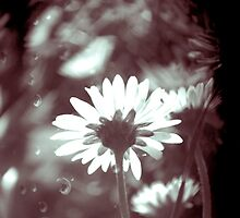 Vintage Daisy by Claire Elford