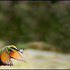Rainbow Bee-Eater 451 by John Van-Den-Broeke