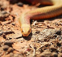Copperhead snake by Mel  LEE