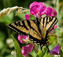 Wild Sweet peas & Butterfly Wings by Chuck Gardner
