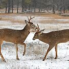 Battle of the Big Bucks - let&#x27;s get ready to rumble!! by Jim Cumming