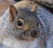 Grey squirrel  by hummingbirds