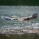 Heron Liftoff by Daniel  Parent