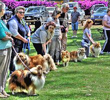 Sheltie Club Of South Australia by JaninesWorld