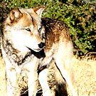 Male Wolf by devinadewi