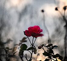 A wild rose by THHoang