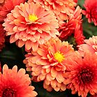 Orange mums by tdash