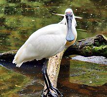 Spoonbill ~ Platalea leucorodia by Clive