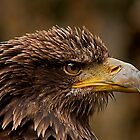 Juvenile Bald Eagle Portrait v2 by JMChown