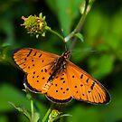 Acraea oncaea by Peter Wickham