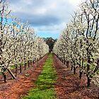 Springtime Orchard by Akrotiri