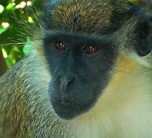 Green Velvet Monkey (Chlorocebus pygerythrus) by Hovis