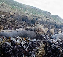 Grey Seals hauled out on Puffin Island by KenByrne