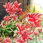 Kangaroo Paw by cschurch
