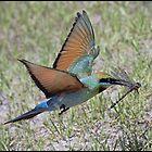 Rainbow Bee-Eater 456 by John Van-Den-Broeke