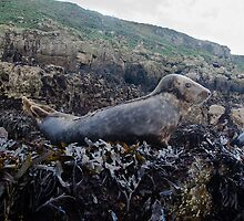 Seals Hauled out on Puffin Island by KenByrne