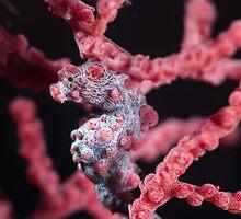 Pygmy Seahorse on Gorgonian Coral by KenByrne