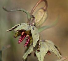Purpurea Fritillaria by Arla M. Ruggles