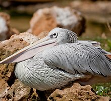 Pink-backed Pelican by Mauro Rodrigues