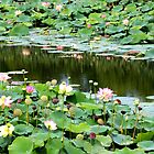 Water lily pond by tdash
