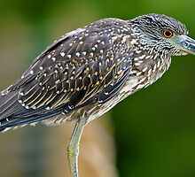 Juvenile Black Crowned Night Heron by Joe Jennelle