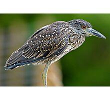 Juvenile Black Crowned Night Heron Photographic Print