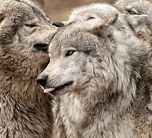Wolf Pack at Play by Bill Maynard