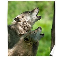 Timber Wolf Howl Poster