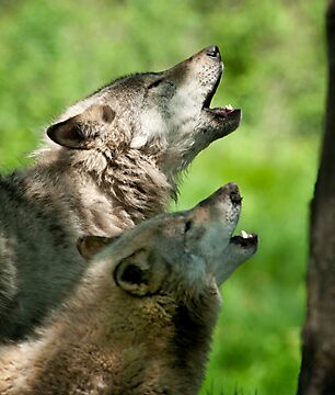 Timber Wolf Howl by Bill Maynard