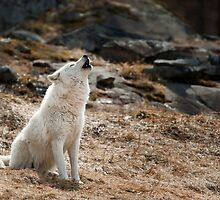 Arctic Wolf Howl by Bill Maynard