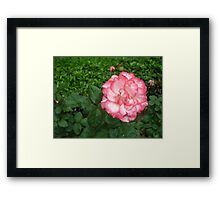 Raindrops softly carressing beautiful pink and white rose Framed Print