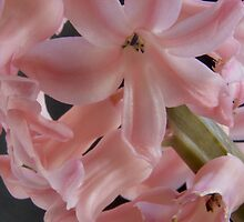 Hyacinth Closeup by Colin Bentham