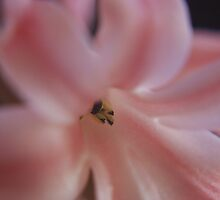 Hyacinth Macro by Colin Bentham