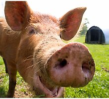 A happy Tamworth pig Photographic Print