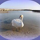 Elegant swan by daffodil