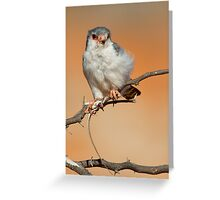 African Pygmy Falcon With Catch Greeting Card