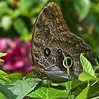 Morpho Butterfly. by bulljup