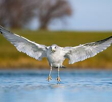 Low Angle Ring-billed Gull Landing. by Daniel Cadieux
