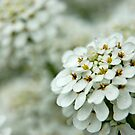 Alyssum by Nick Boren