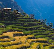 Terraced millet fields near Chuile, Annapurna Sanctuary by Mark Salkeld