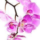 Pink Orchid by onyonet photo studios