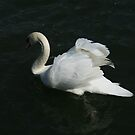 Swan 2  by Jenny  Riley