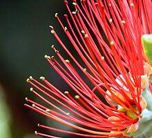 Flower Frill by Chris Ayre