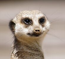 meerkat face by Penny Rumbelow