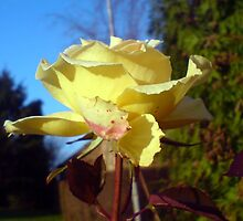 Lo, how a rose e'er blooming, from tender stem hath sprung  by MikeShort